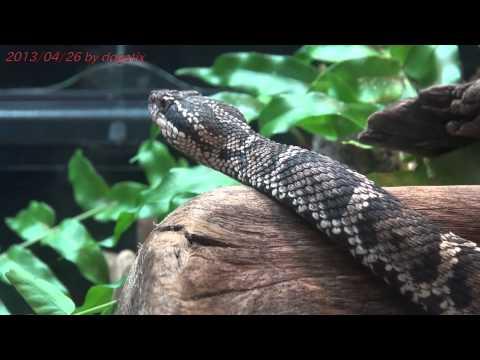 ニホンマムシ上野動物園 Japan Trip 2013 Tokyo Ueno Zoo Mamushi Snake 476