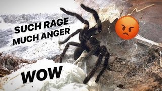 "NEVER TRUST a ""CALM"" Old World TARANTULA ~ IT'S A TRICK !!!"