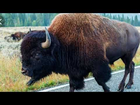 Bison gores woman in Yellowstone National Park's THIRD animal attack just this week