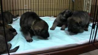 子犬が生まれていますよ http://www.woof.jp/gsd.html.