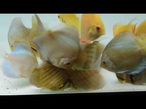 Piwowarski Discus Eating Vita Complete Tropical Fish Food