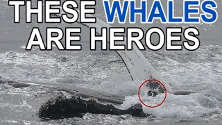 Why do humpback whales save seals?