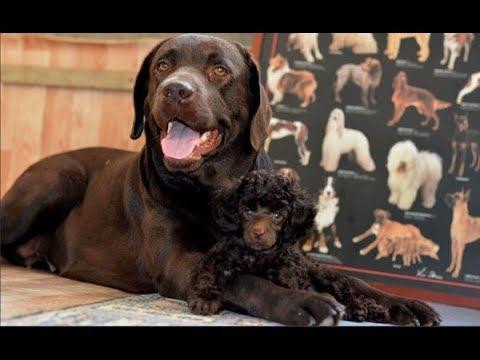 Вопрос: Биро какая порода собаки Признана ли РКФ?