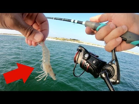 Using Live Shrimp For Multiple Rock Jetty Fish