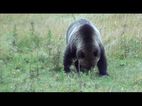Brown Bear Yellowstone
