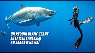 Des plongeurs nagent avec un requin blanc géant à Hawaï