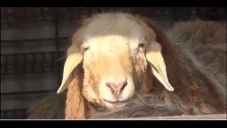 Курдючные и Романовские породы овец. #1