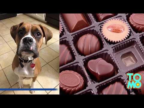 สุนัขกินช็อคโกแลต ปล่อยน้ำพุช็อคโกแลตน่าตะลึง