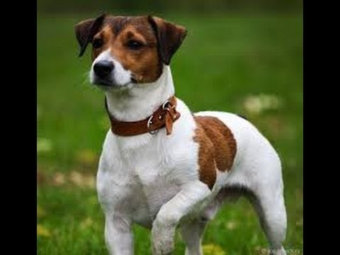 Объявления. Собаки, щенки джек рассел терьер, цены, торговля, фото, kартинки.