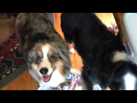 Guilty Australian Shepherds