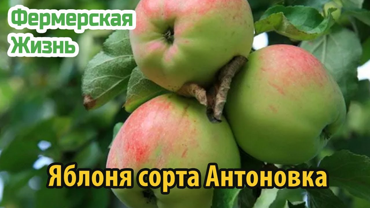Яблоня сорта Антоновка виды, особенности выращивания, урожайность и зимостойкость