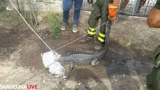 Ritrovato a Cala Liberotto il caimano Jack scomparso da Orosei