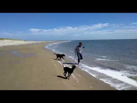 Chester the Manchester Terrier plays with his friends at the beach
