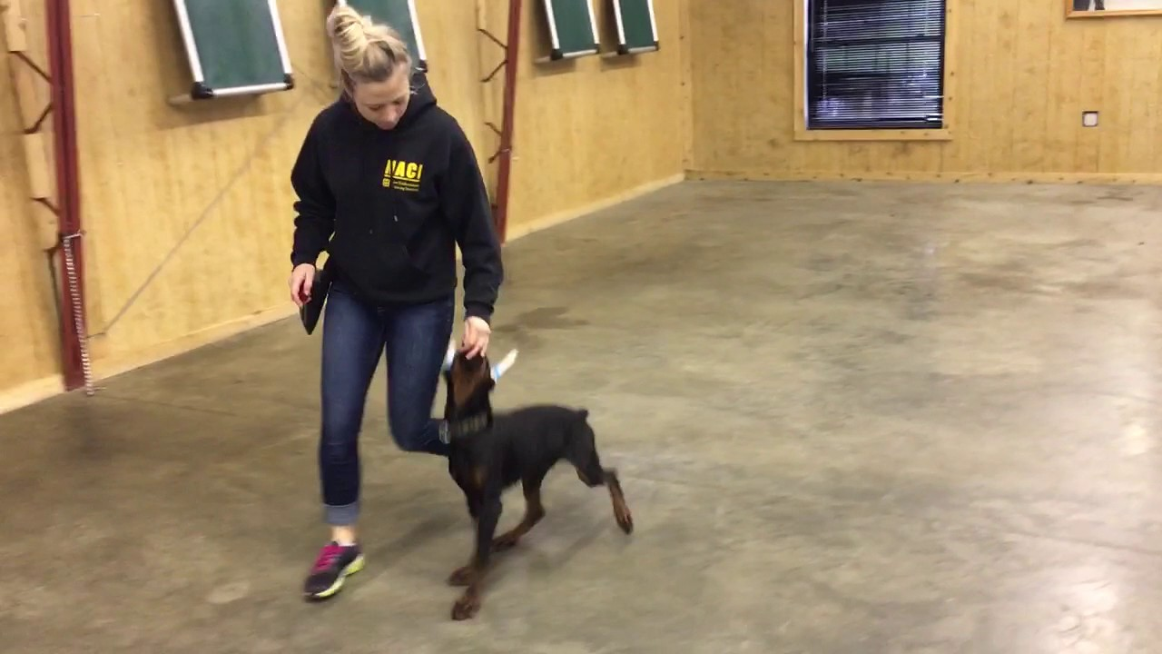 Doberman puppy leash training