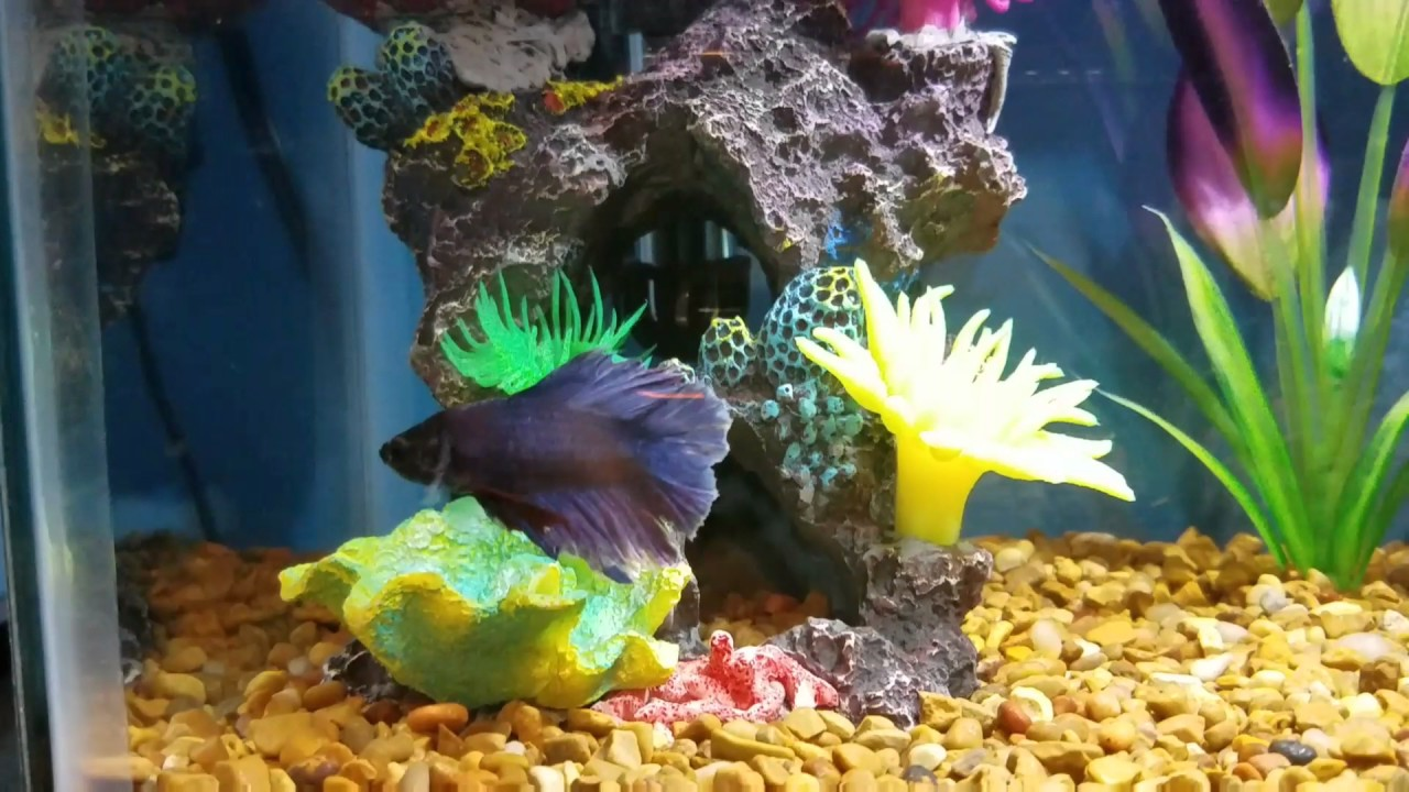 Betta fish hermit crabs update youtube for What fish are compatible with betta fish
