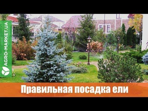 ПОСАДКА ЕЛИ ОСЕНЬЮ | Как посадить ель? | Agro-market.ua
