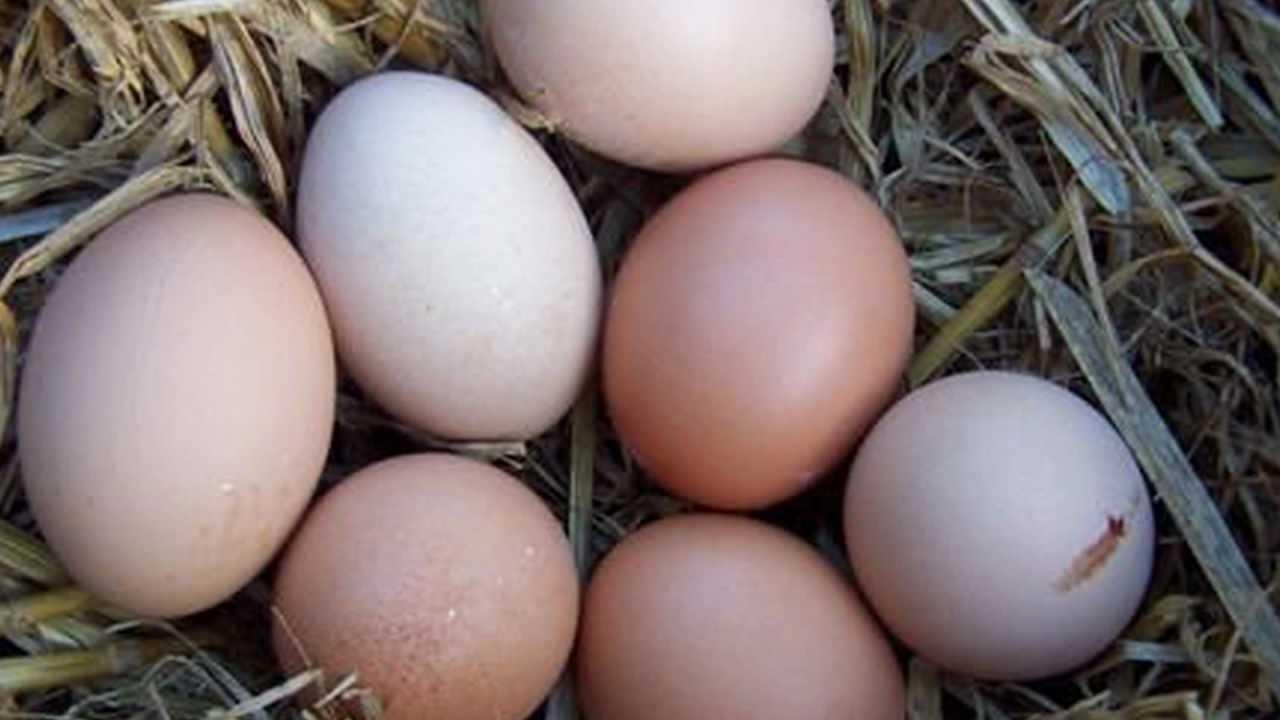 Chicken breeds for eggs - 8 Best Egg Laying Chicken Breeds