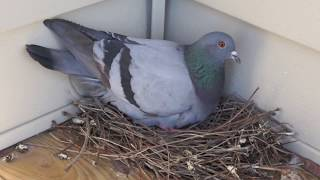 Mother Pigeon Bird Lays on Egg Nest and Yawns [High Definition] - Pigeon Chick Eggs