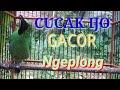 Cucak Ijo Gacor Ngeplong Cocok Buat Pancingan  Mp3 - Mp4 Download