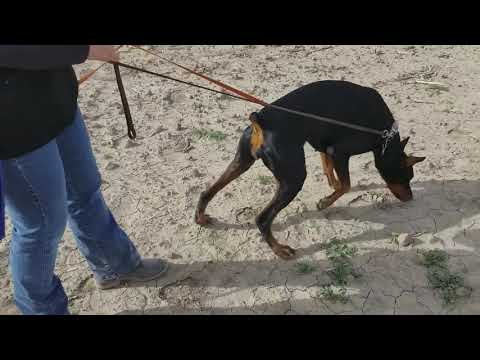 Doberman Training to Search And Find