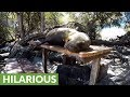Hilarious sea lions find the most ridiculous places to sleep