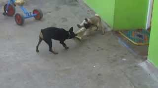 Dog Fight : Pug Vs Mini Pinscher