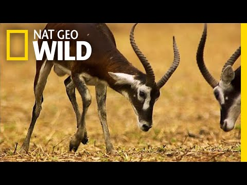 Fight For the Right To Mate   Nat Geo Wild