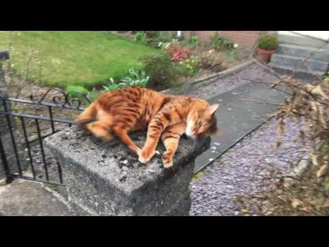 Where have you been human!? Cat misses owner (Tonto the bengal cat)