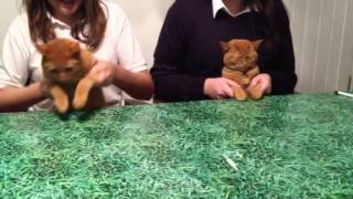 Ginger cats dance if i had a hammer