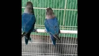 Aksi NGEKEK Sepasang Lovebird Mangsi Blue | Lovebird Ngekek