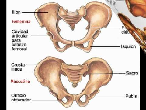 Los huesos del cuerpo humano.mpg - YouTube