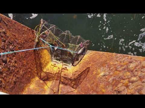 Thumbnail: How to catch lobster .lobster trap fishing