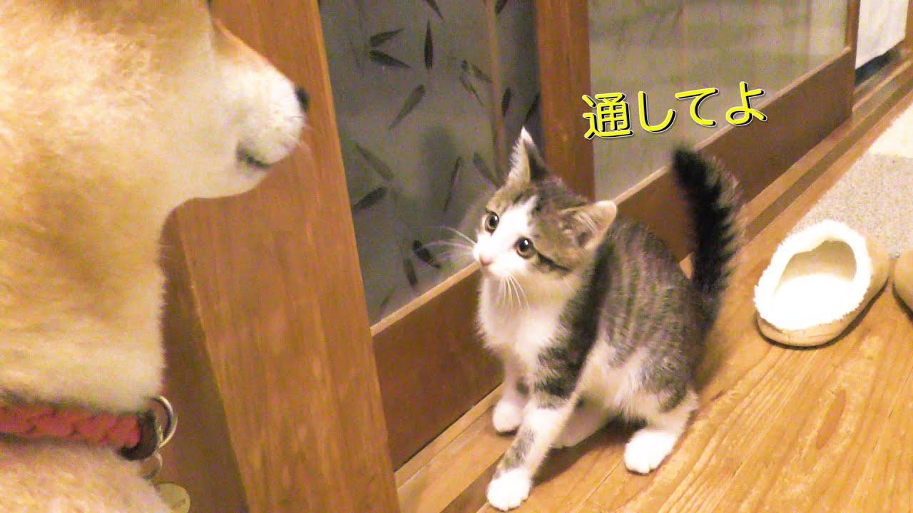 子猫、探検の帰り道を番犬に塞がれる【トワが子猫の頃の動画です】