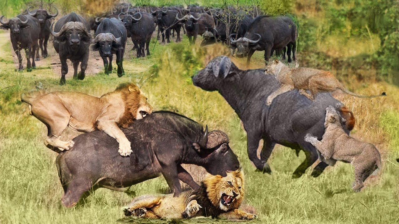 Lion vs Buffalo Battle is not never | Wild Animals Fight Lion Hunting Buffalo Survival Battle