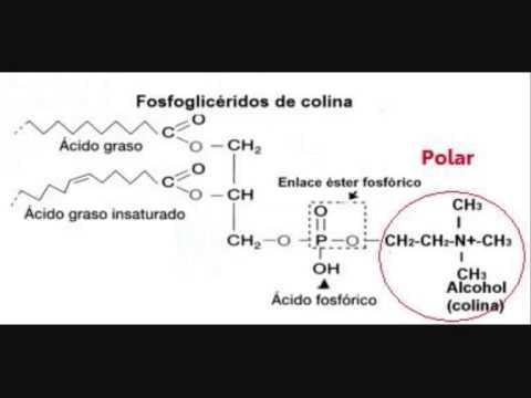 Biología Fosfolípidos