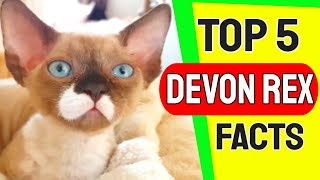 Top 5 Devon Rex Facts  Devon Rex Cat Breed
