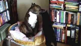 Прикольные кошки   Два кота весело облизывают огромную собаку!   Забавно смотреть!