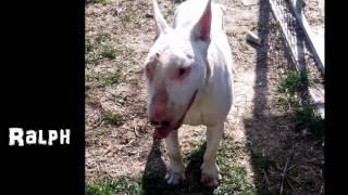 Bull Terrier Rescue Italia 2013