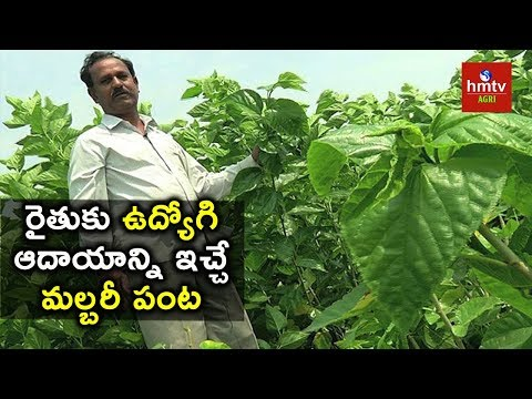 Success Story of Farmer Mahipal Reddy In Mulberry Cultivation | hmtv Agri