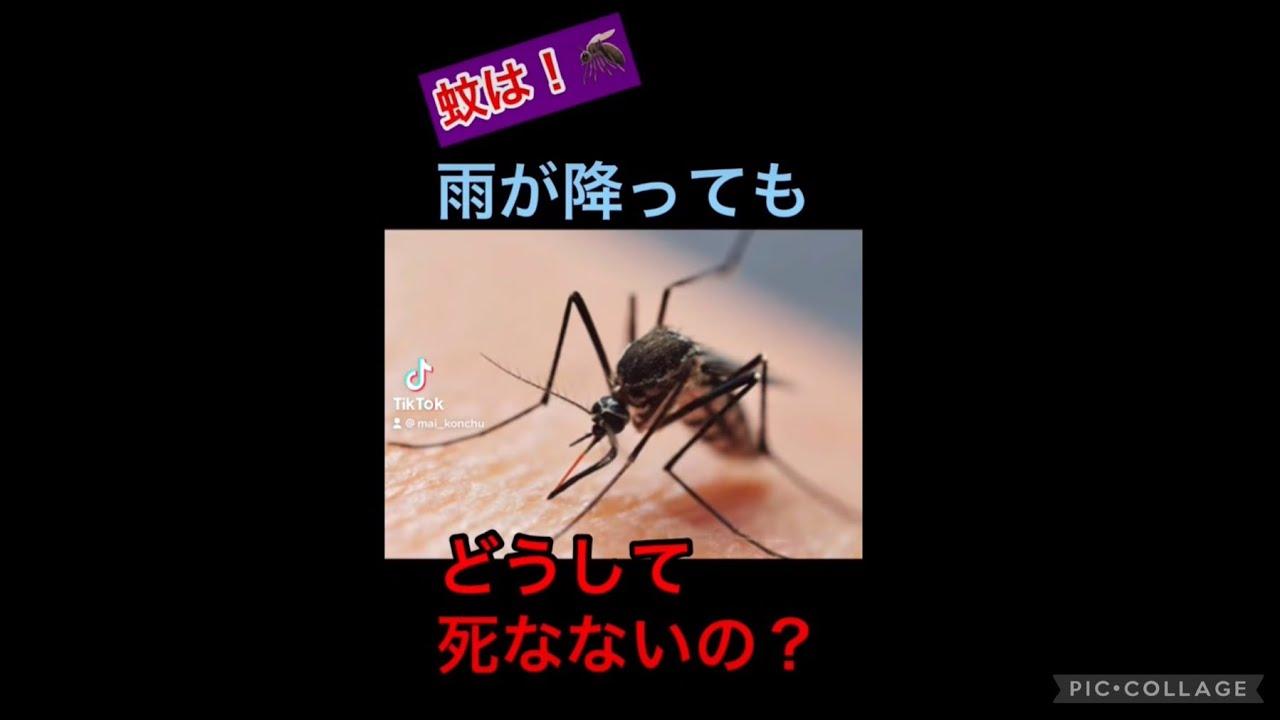 蚊は!雨が降ってもどうして死なないの?