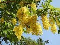 Amazing and Most Beautiful Golden Shower Tree | Golden Rain Tree Flowers