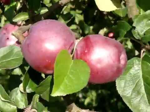 Лучшие сорта Яблок Прогулка по саду часть 1