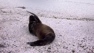 Cute Sealion ガラパゴス諸島のかわいすぎるこどもアザラシ