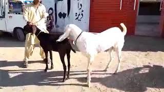Vitthal Bakrid red wali video Nagari Vittal comedy Kapil
