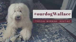 Old English Sheepdog's Morning Routine┃GRWM┃Ed&Mel