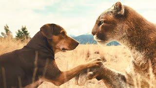 流浪狗救下了一只流浪猫等它长大后才发现竟然是一只美洲狮