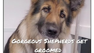 Gorgeous German Shepherd | Funny Puppy first groom