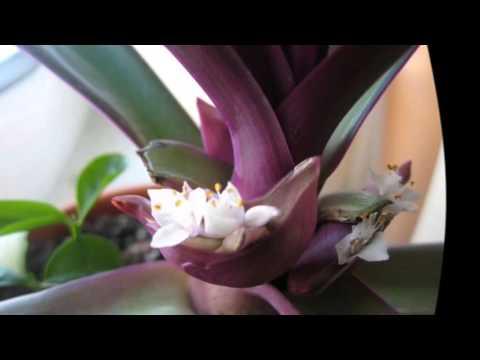 Цветок каланхоэ kalanchoes уход в домашних условиях