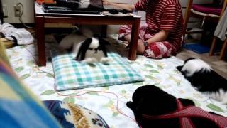 お泊り中のあんこ姉さんが眠ると・・・ 途端に強くなる鶴松ぼ~ あんこ...