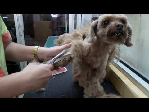 POODLE ' HEAVILY MATTED' GROOMING @ JY PET SALON